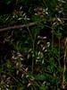 <em>Fumaria capreolata</em>, White Ramping Fumitory, Europe.  <em>Papaveraceae </em>(Poppy family). Hwy. 1, Pacifica, San Mateo County, CA 7/17/10  jm2p984