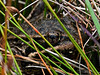 <em>Rana aurora</em>, Red-legged Frog  Bull Point Trail, Point Reyes National Seashore, Marin Co., CA, 2013/07/07