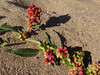 <em>Rumex crassus</em>, Willow-leaved Coastal Dock, native.  <em>Polygonaceae</em> (Buckwheat family). Abbotts Lagoon, Point Reyes National Seashore, Marin Co., CA  2011/08/29  jm2p1124