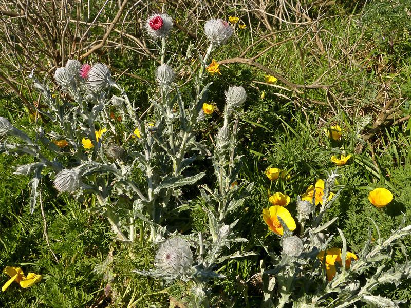 <em>Cirsium occidentale var. occidentale</em>, Cobweb Thistle, native.   <em>Asteraceae</em> (= <em>Compositae</em>, Sunflower family).  Tomales Point, Point Reyes National Seashore, Marin Co., CA 3/2/2012, jm2p288