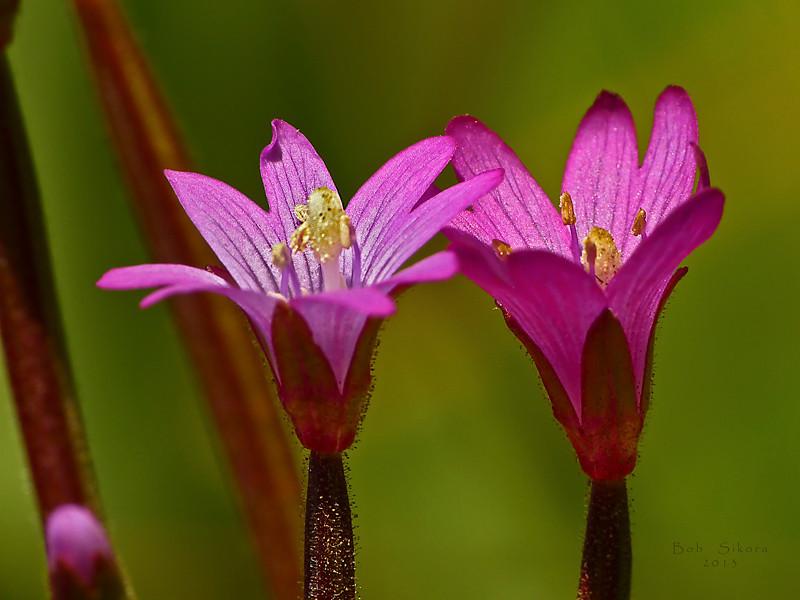 <em>Epilobium ciliatum ssp. watsonii,</em> Fringed Willowherb, native.  <em>Onagraceae</em> (Evening Primrose family). Bobcat Trail, Golden Gate National Recreation Area, Marin Co., CA, 2012/05/29, jm2p943
