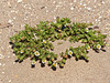 <em>Layia carnosa</em>, Beach Layia, native.  <em>Asteraceae</em> (= <em>Compositae</em>, Sunflower family). Abbotts Lagoon, Point Reyes National Seashore, Marin Co., CA, 2013/04/17, jm2p369.