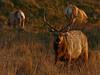 Tule Elk, <em>Cervus elaphus nannodes</em> Point Reyes National Seashore, Marin Co., CA 12/6/2011 &#9664 Agavaceae ----- Alliaceae &#9658