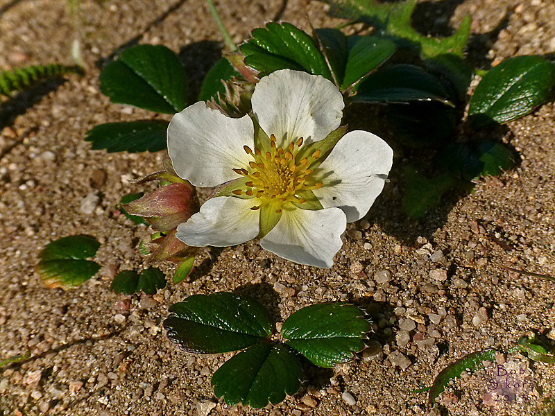 <em>Fragaria chiloensis</em>, Beach Strawberry, native.  <em>Rosaceae</em> (Rose family). Point Reyes, Point Reyes National Seashore, Marin Co., CA, 2011/03/28, jm2p1178