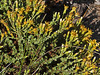 <em>Ericameria ericoides</em>, California Goldenbush, Mock Heather, native.  <em>Asteraceae</em> (= <em>Compositae</em>, Sunflower family). Abbotts Lagoon, Point Reyes National Seashore, Marin Co., CA  2011/08/29   jm2p308