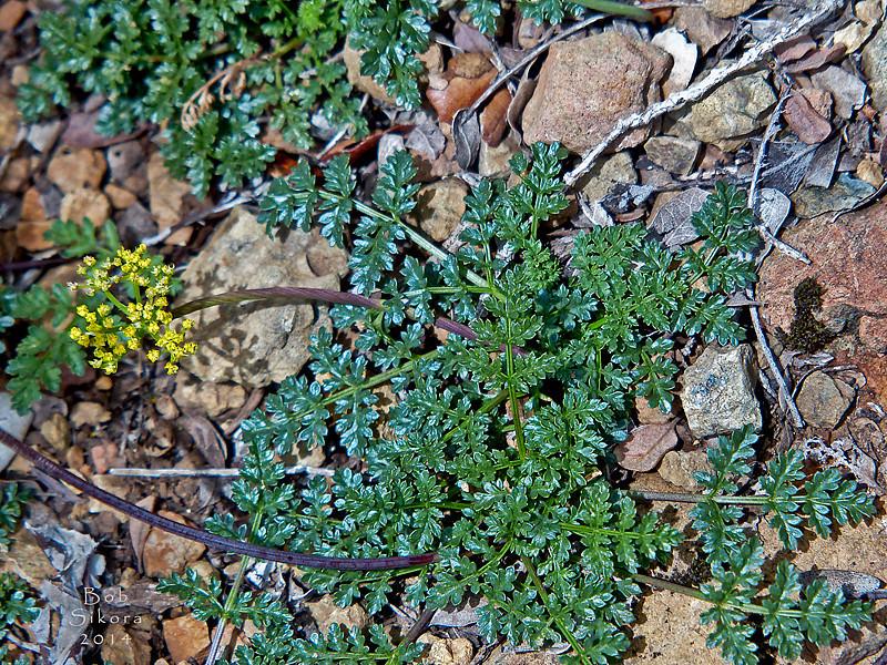 <em>Cymopteris terebinthinus var. californicus</em>, Turpentine Cymopteris, native.  <em>Apiaceae</em> (= <em>Umbelliferae</em>, Parsley family). The Cedars, Sonoma Co., CA, 2014/04/27, jm2p180