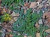 <em>Cymopteris terebinthinus var. californicus</em>, Turpentine Cymopteris, native.  <em>Apiaceae</em> (= <em>Umbelliferae</em>, Parsley family). The Cedars, Sonoma Co., CA, 2014/04/27, jm2p180