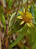 <em>Jaumea carnosa</em>, Marsh Jaumea, native.  <em>Asteraceae</em> (= <em>Compositae</em>, Sunflower family). Millerton Point, Tomales Bay State Park, Marin Co., CA, 2013/06/22, jm2p361