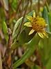 <em>Jaumea carnosa</em>, Marsh Jaumea, native.  <em>Asteraceae</em> (= <em>Compositae</em>, Sunflower family). Millerton Point, Tomales Bay State Park, Marin Co., CA, 2013/06/22, jm2p361