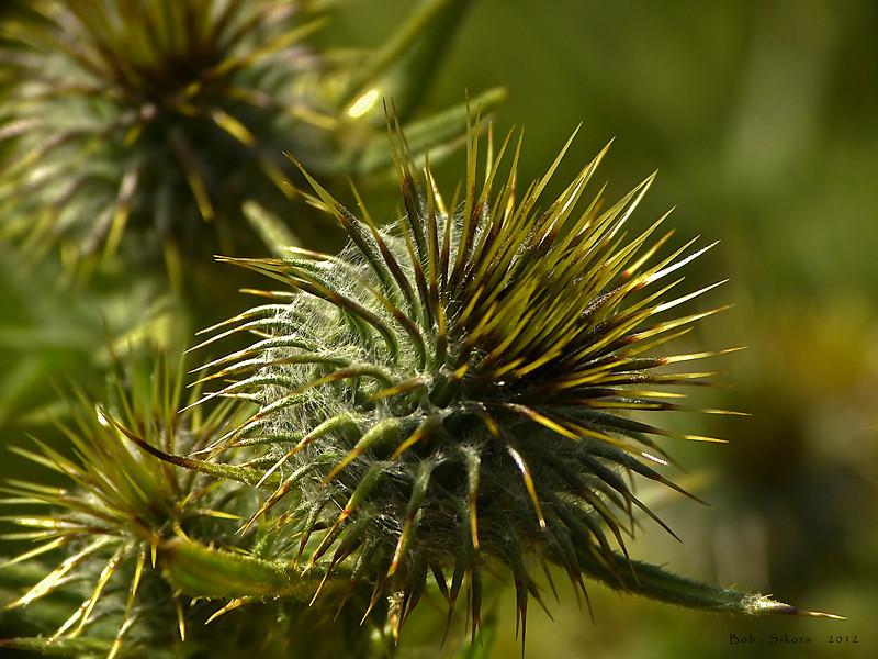 <em>Cirsium vulgare</em>, Bull Thistle, Europe.   <em>Asteraceae</em> (= <em>Compositae</em>, Sunflower family). Fort Cronkhite, Golden Gate National Recreation Area, Marin Co., CA  2012/06/09  jm2p289