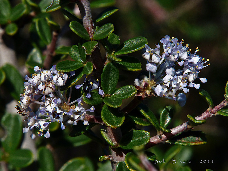 <em>Ceanothus cuneatus var. ramulosus</em>, Coast Buckbrush, native.  <em>Rhamnaceae</em> (Buckthorn family). East Peak, Mt. Tamalpais State Park, Marin Co., CA, 2014/03/10, jm2p1157