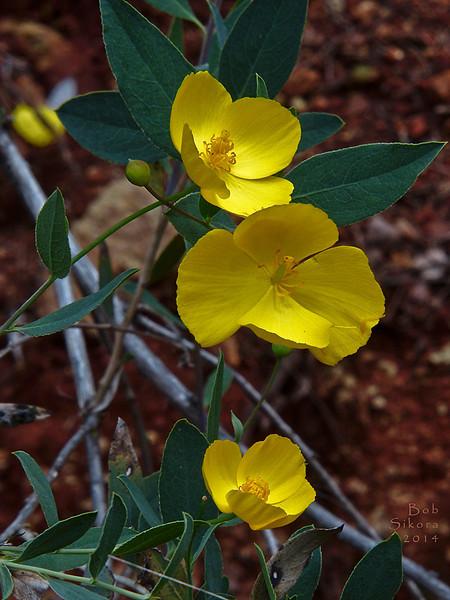 <em>Dendromecon rigida</em>, Bush Poppy, native.  <em>Papaveraceae</em>  (Poppy family). The Cedars, Sonoma Co., CA. 2014/04/27, jm2p981