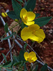 <em>Dendromecon rigida</em>, Bush Poppy, native.  <em>Papaveraceae</em>  (Poppy family). The Cedars, Sonoma Co., CA. 2014/04/27, jm2p981