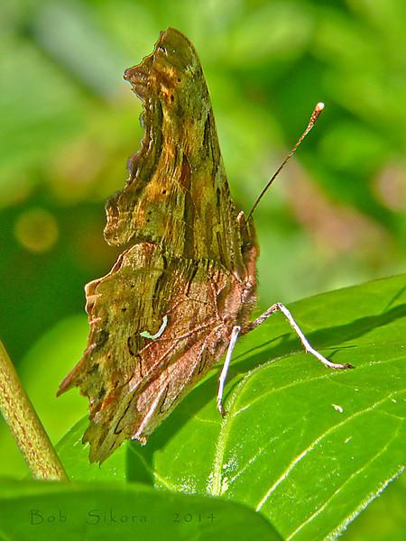 Satyr Anglewing, <em>Polygonia satyrus</em> Devil's Gulch, Samuel Tayler State Park, Marin Co., CA, 2014/04/05