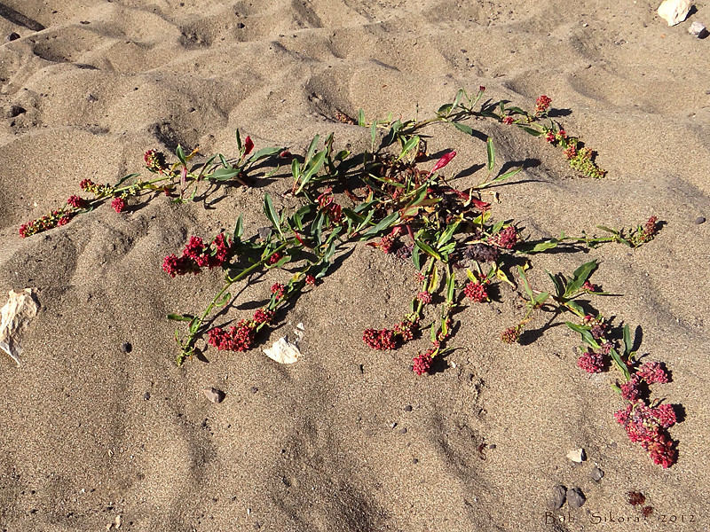 <em>Rumex crassus</em>, Willow-leaved Coastal Dock, native.  <em>Polygonaceae</em> (Buckwheat family). Abbotts Lagoon, Point Reyes National Seashore, Marin Co., CA  2011/08/29  jm2p1124