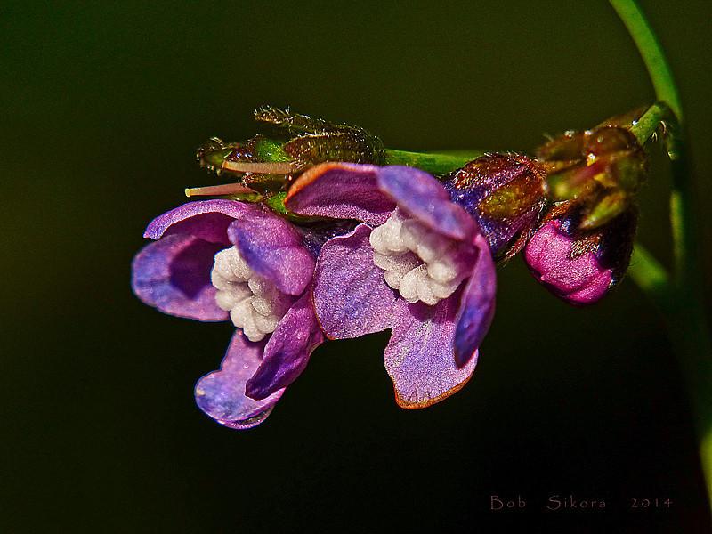 <em>Cynoglossum grande</em>, Pacific Hound's Tongue, native.  <em>Boraginaceae</em> (Borage family). Devil's Gulch, Samuel Taylor State Park, Marin Co., CA, 2014/04/05, jm2p486