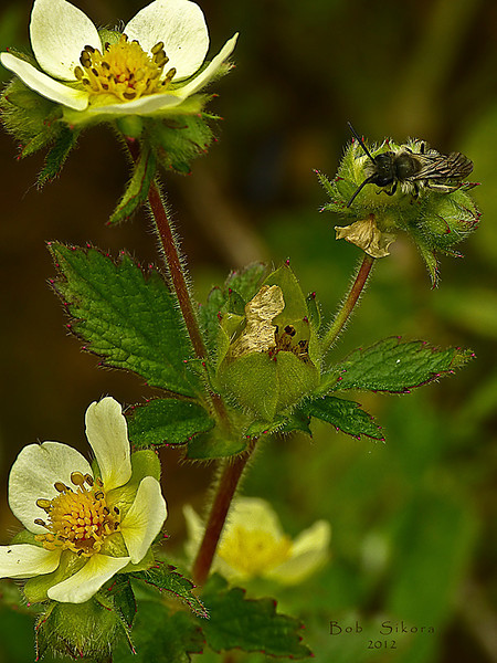 <em>Drymocallis glandulosa var. wrangelliana (Potentilla glandulosa ssp. glandulosa),</em> Sticky Cinquefoil, native.  <em>Rosaceae</em> (Rose family). Rodeo Valley Trail, Golden Gate National Recreation Area, Marin Co., CA  2012/04/16  jm2p1176