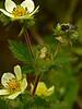 <em>Drymocallis glandulosa var. wrangelliana (Potentilla glandulosa ssp. glandulosa),</em> Sticky Cinquefoil, native.  <em>Rosaceae</em> (Rose family). Rodeo Valley Trail, Golden Gate National Recreation Area, Marin Co., CA  2012/04/16  jm2p1176