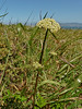 <em>Ligusticum apiifolium</em>, Lovage, native.  <em>Apiaceae</em> (= <em>Umbelliferae</em>, Parsley family).  Chimney Rock; Point Reyes National Seashore, Marin Co., CA, 2013/04/10, jm2p184