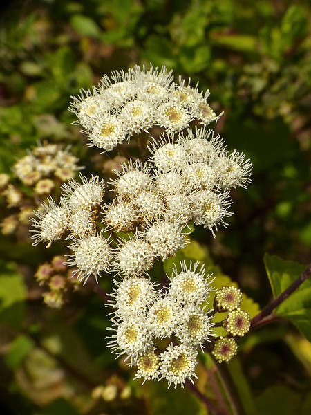 <em>Ageratina adenophora</em>, Sticky Snakeroot, White Ageratina, Mexico.  <em>Asteraceae</em> (= <em>Compositae</em>, Sunflower family). Kirby Cove, Golden Gate National Recreation Area, Marin Co., CA 2012/04/07 jm2p232