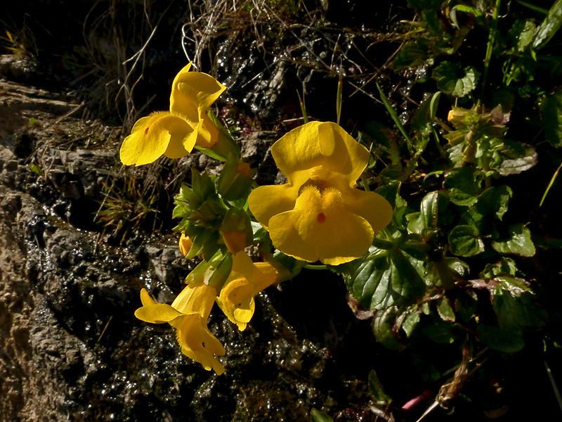 <em>Mimulus guttatus</em>, Yellow, Common or Seep Monkeyflower, native.  <em>Phyrmaceae</em>  (<em>Mimulus</em>) Ex <em>Scrophulariaceae</em>. Sculptured Beach, Point Reyes National Seashore, Marin Co., CA 2012/03/09 jm2p994