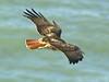Red-tailed Hawk, <em>Buteo jamaicensis</em> Golden Gate National Recreation Area, Marin Co., CA  2013/01/28