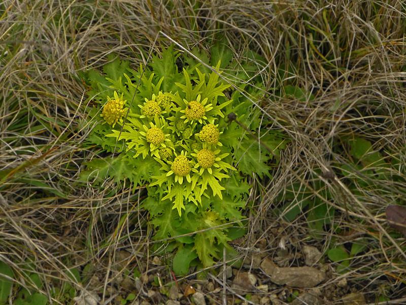 <em>Sanicula arctopoides</em>, Footsteps-of-spring, native.  <em>Apiaceae</em> (= <em>Umbelliferae</em>, Parsley family). Point Reyes National Seashore, Marin Co., CA 1/31/2012 jm2p198