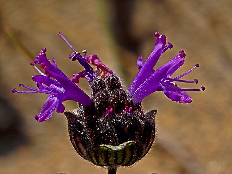 <em>Monardella sinuata ssp. nigrescens</em>, native.  <em>Lamiaceae</em> (=<em>Labiatae</em>, Mint family). Abbotts Lagoon, Point Reyes National Seashore, Marin Co., CA 8/29/2011 jm2p849