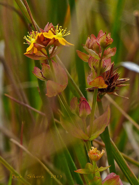 <em>Hypericum anagalloides</em>, Tinker's Penny, native.  <em>Hypericaceae</em> (St. John's Wort family). Bull Point Trail, Point Reyes National Seashore, Marin Co., CA, 2013/07/07, jm2p830