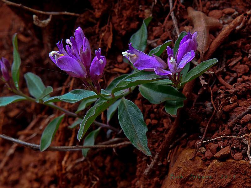 <em>Polygala californica</em>, California Milkwort, native.  <em>Polygalaceae</em> (Milkwort family). The Cedars, Sonoma Co., CA, 2014/04/27, jm2p1073