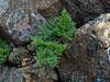 <em>Aspidotis densa</em>, Lace Fern, native.  <em>Pteridaceae</em> (Maidenhair family). The Cedars, Sonoma Co., CA, 2014/04/27, jm2p126