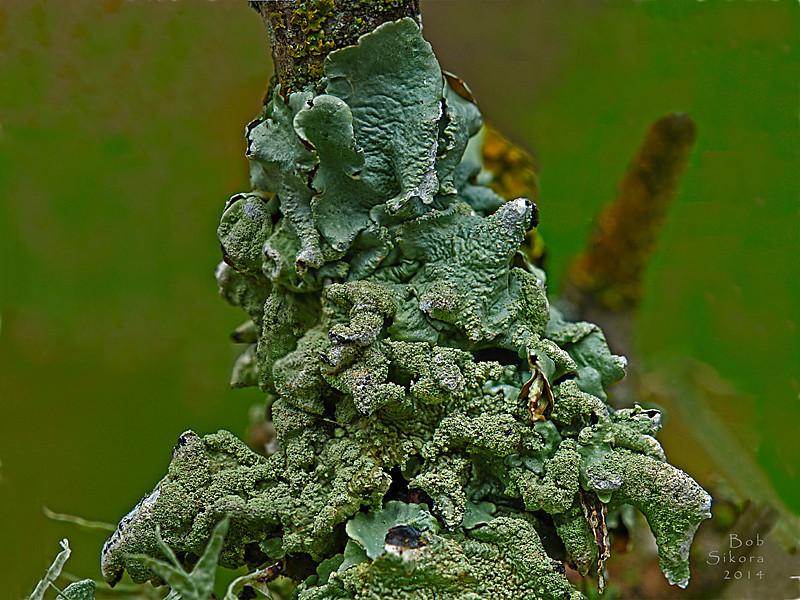 <em>Flavoparmelia caperata</em>, Common Greenfield Lichen Olompali State Park, Marin Co., CA, 2014/02/15