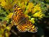 Mylitta Crescent,<em> Phyciodes mylitta</em> on <em>Isocoma menziesii</em> Point Piedras Blancas, San Luis Obispo Co., CA  9/26/09