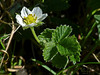 <em>Fragaria vesca</em>, Wood or Wild Strawberry, native.  <em>Rosaceae</em> (Rose family). Coastal Trail n. of Muir Beach, Golden Gate National Recreation Area, Marin Co., CA , 2013/01/28, jm2p1178