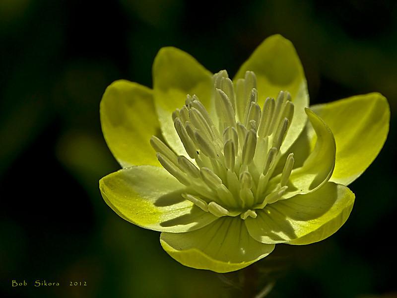 <em>Platystemon californicus</em>, Cream Cups, native.  <em>Papaveraceae</em> (Poppy family). Tomales Point, Point Reyes National Seashore, Marin Co., CA 2012/04/27  jm2p985