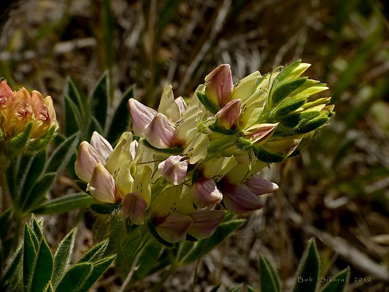<em>Lupinus microcarpus var. densiflorus</em>, Dense Flowered or Chick Lupine, native.  <em>Fabaceae</em> (=<em>Leguminosae</em>, Legume family). Coastal Trail, Golden Gate National Recreation Area, Marin Co., CA, 20121/06/15,  jm2p774