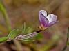 <em>Clarkia davyi</em>, Davy's Clarkia, native.  <em>Onagraceae</em> (Evening-primrose family). Bull Point, Point Reyes National Seashore, Marin Co., CA, 2014/04/16