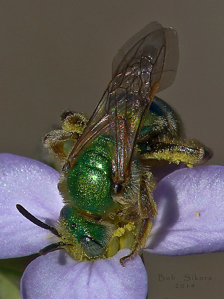 <em>Agapostemon</em> sp., Sweat Bee <em>Cakile maritima</em>, Sea Rocket Tennessee Valley, Golden Gate National Recreation Area, Marin Co., CA, 2014/01/16