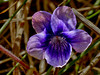 <em>Viola adunca</em>, Blue or Dog Violet, native.  <em>Violaceae</em> (Violet family). Chimney Rock; Point Reyes National Seashore, Marin Co., CA, 2013/04/10, jm2p1270