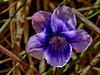<em>Viola adunca</em>, Blue or Dog Violet, native.  <em>Violaceae</em> (Violet family). Chimney Rock; Point Reyes National Seashore, Marin Co., CA, 2013/04/10, jm2p1270