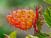 <em>Rubus spectabilis</em>, Salmonberry, native. <em>Rosaceae</em> (Rose family). Bull Point Trail, Point Reyes National Seashore, Marin Co., CA,  2013/07/26  jm2p1204