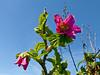 <em>Rubus spectabilis</em>, Salmonberry, native. <em>Rosaceae</em> (Rose family). Tomales Point, Point Reyes National Seashore, Marin Co., CA 3/2/2012  jm2p1204