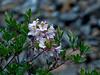 <em>Rhododendron occidentale</em>, Western Azalea, native.  <em>Ericaceae</em> (Heath family). The Cedars, Sonoma Co., CA, 2014/04/27, jm2p708.