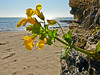 <em>Mimulus guttatus</em>, Yellow, Common or Seep Monkeyflower, native.  <em>Phyrmaceae</em>  (<em>Mimulus</em>) Ex <em>Scrophulariaceae</em>. Sculptured Beach, Point Reyes National Seashore, Marin Co., CA 2012/03/09  jm2p994
