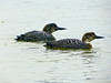 Common Loon, <em>Gavia immer</em> Marshall Beach, Point Reyes National Seashore, Marin Co., CA 2012/03/19