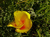 <em>Eschscholzia californica</em>, California Poppy, native.  <em>Papaveraceae</em> (Poppy family). Abbotts Lagoon, Point Reyes National Seashore, Marin Co., CA, 2013/04/17, jm2p982.