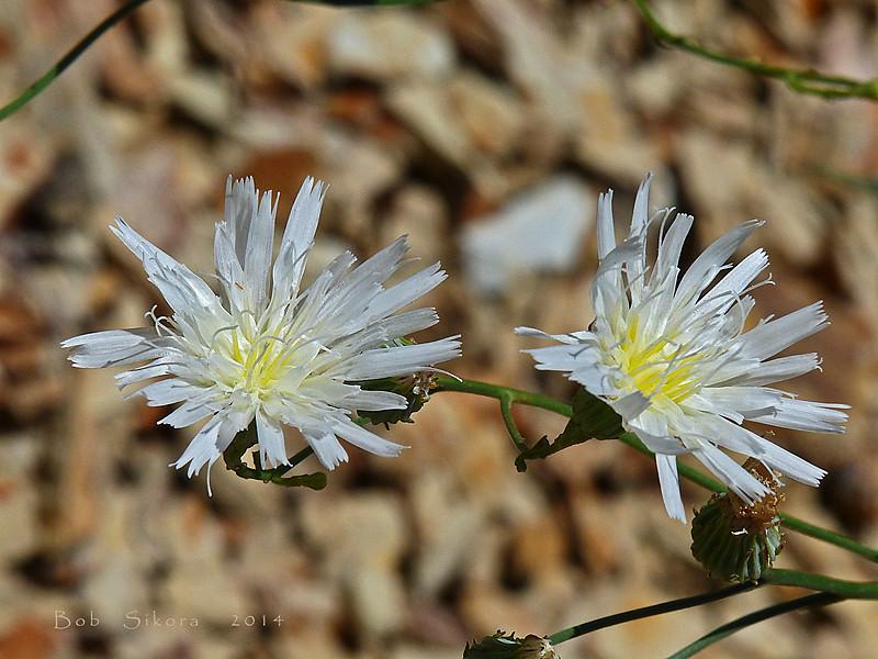 <em>Malacothrix saxatilis var. commutata</em>, Cliff Desertdandelion, South Coast Range Malacothrix, native.  <em>Asteraceae</em> (= <em>Compositae</em>, Sunflower family). Los Padres National Forest, Ventura Co., CA, 2014/07/18, jm2p384.