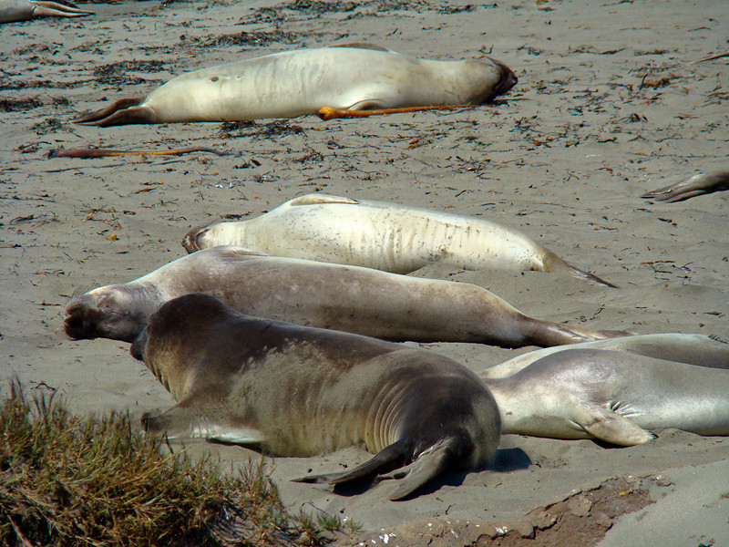 Elephant Seals Taking a Nap Northern Elephant Seal, <em>Mirounga angustirostris</em>. Point Piedras Blancas, San Luis Obispo Co., CA 9/26/09 &#9664 Papaveraceae ----- Phyrmaceae &#9658