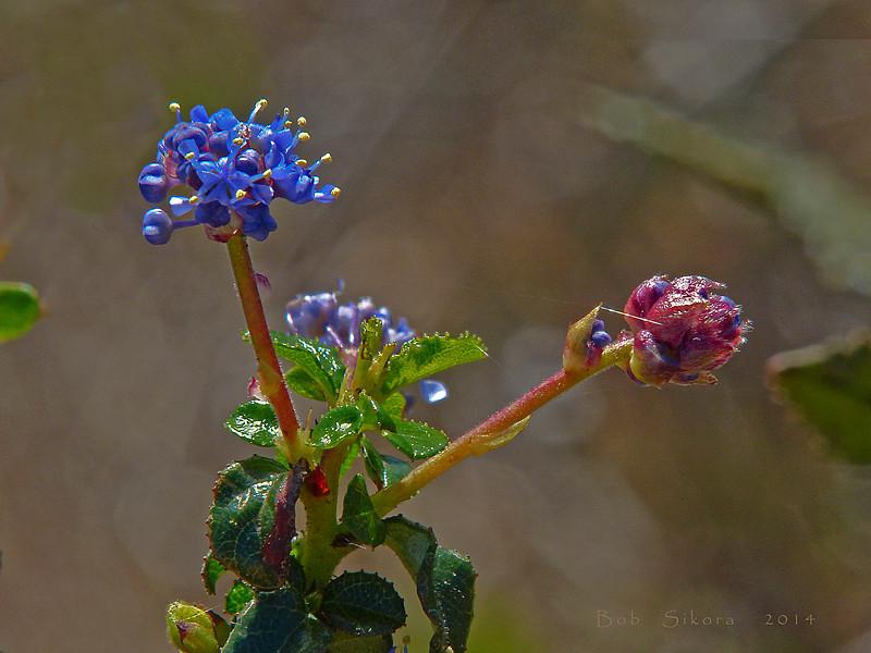 <em>Ceanothus foliosus var. foliosis</em>, Wavyleaf Ceanothus, native.  <em>Rhamnaceae</em> (Buckthorn family). East Peak, Mt. Tamalpais State Park, Marin Co., CA, 2014/03/10, jm2p1157