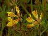 <em>Lotus corniculatus</em>, Bird's Foot Trefoil, Eurasia.  <em>Fabaceae</em> (=<em>Leguminosae</em>, Legume family). Martinelli Park, Inverness, Marin Co., CA, 2013/04/24, jm2p764